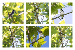 Kingbird Fledglings
