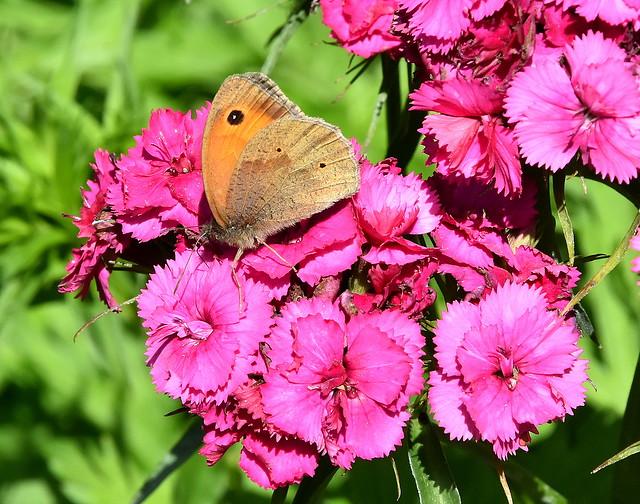 Brown on Pinks.