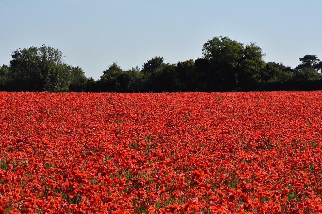 Crimson Field.