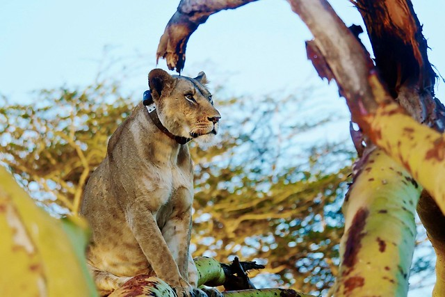 Collared Lioness In A Tree