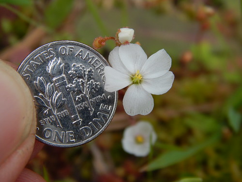Photo of dwarf sundew next to a dime