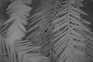 Monochrome Katydif on Palm Fronds