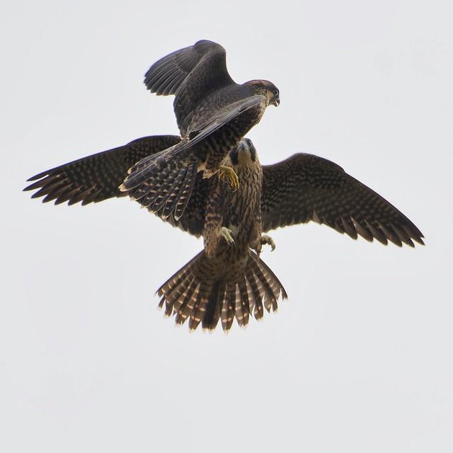 Peregrine Falcon,juveniles