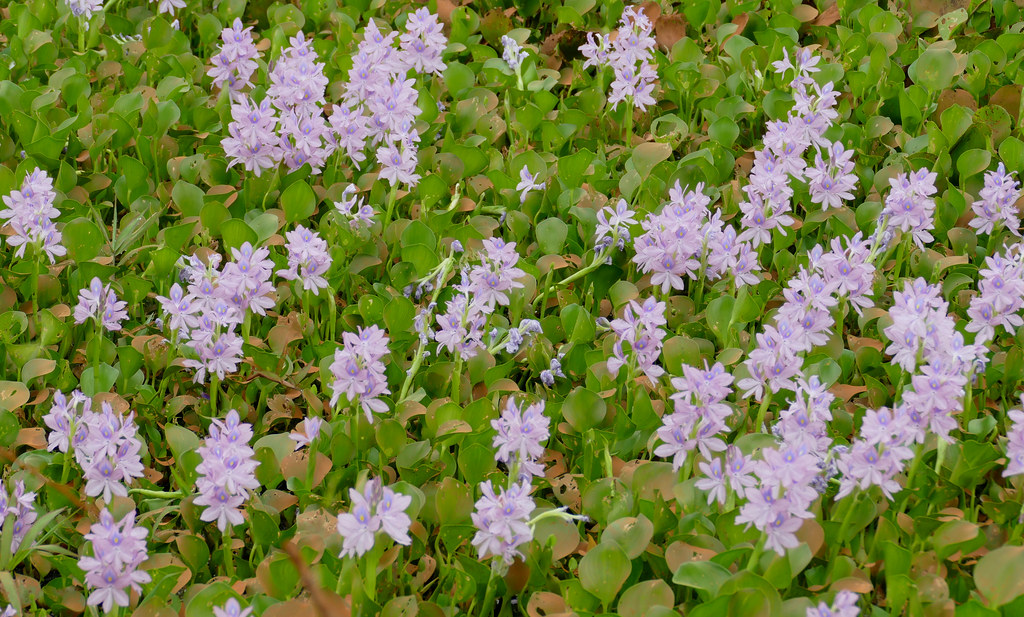 Common Water Hyacinths (Eichhornia crassipes)