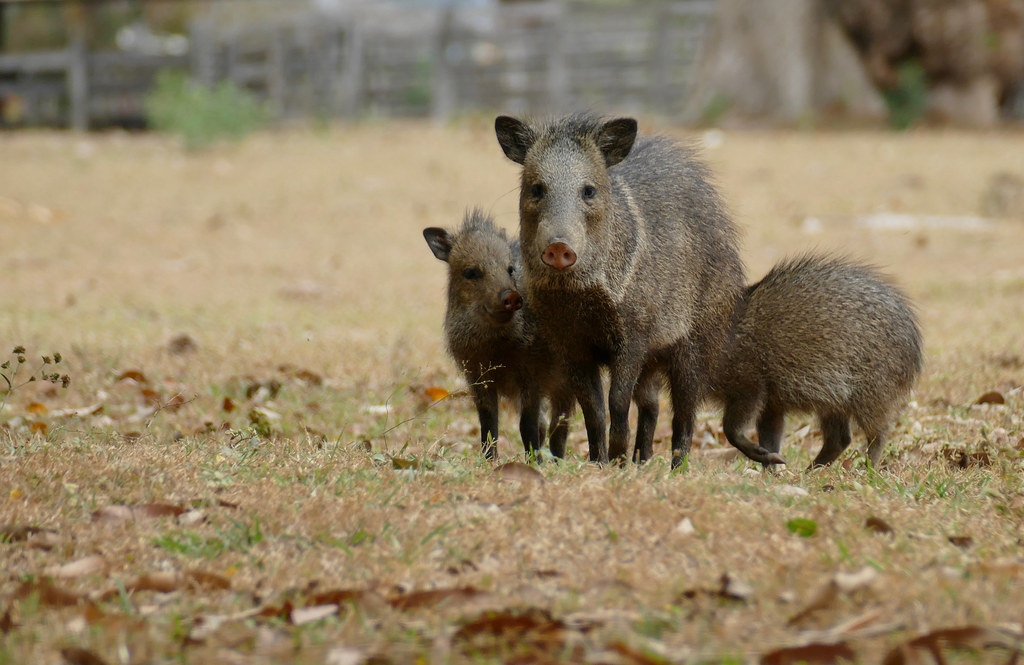 Collared peccaries (Pecari tajacu) female with youngs ...
