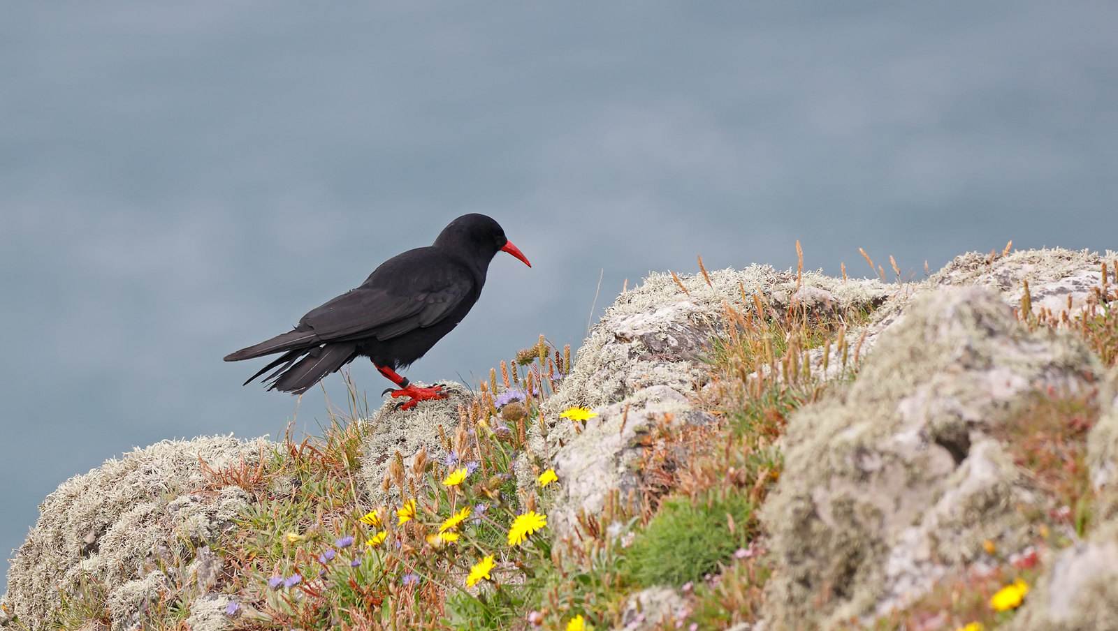 Chough [oh, but those rings :-( ]