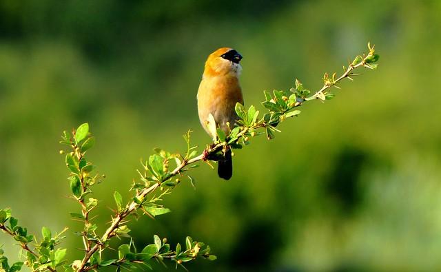 Red-headed Bullfinch - 1st Summer male