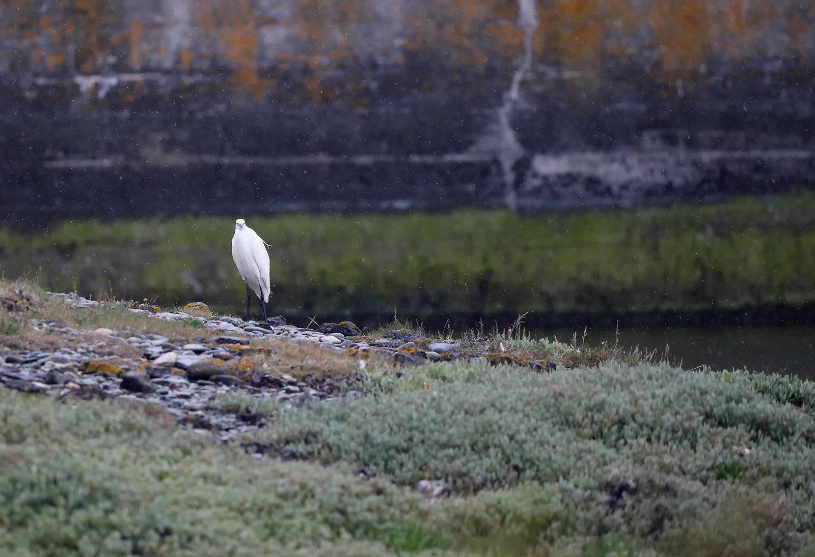 Little Egret in rain..