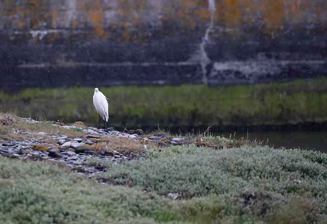 Little Egret in rain..
