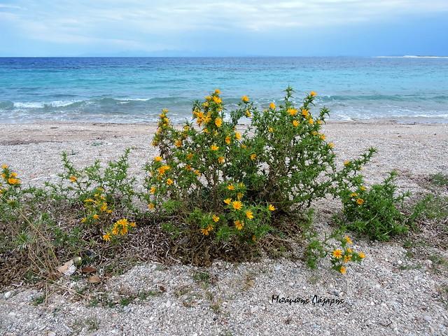 3_Scolymus hispanicus