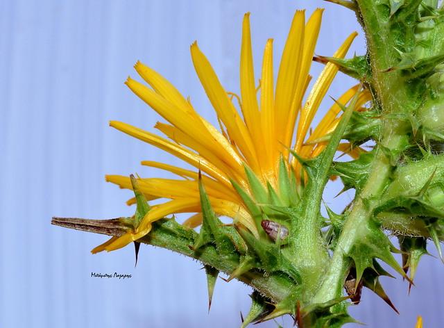 1_Scolymus hispanicus