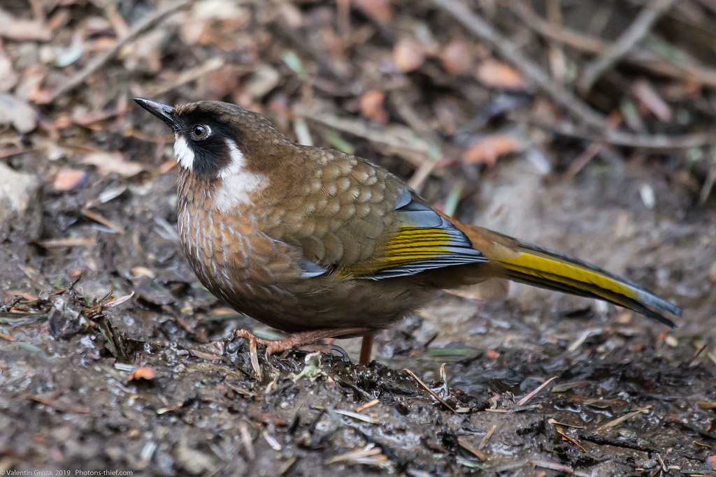 Himalaya_fauna 14_back-fronted laughingthrush 07 med