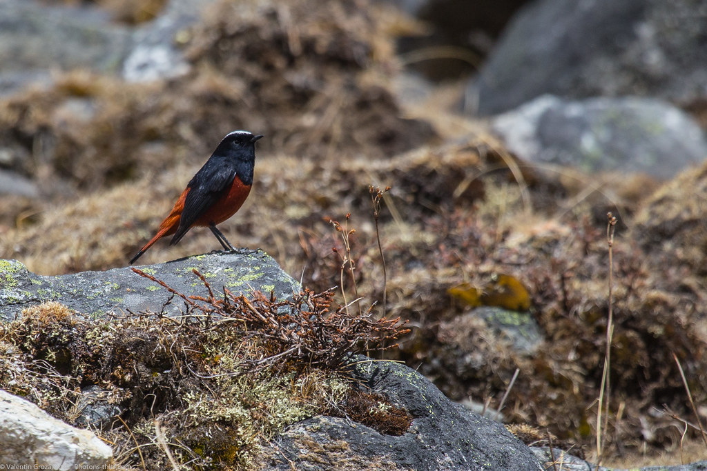 Himalaya_fauna 15 white-capped redstart 01 med