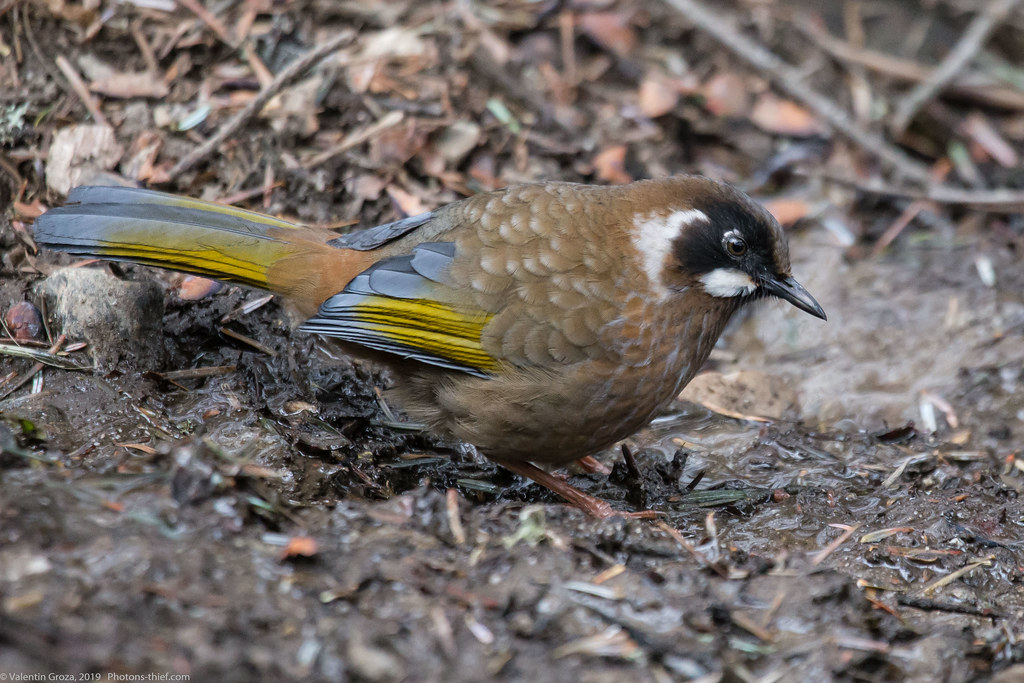 Himalaya_fauna 14_back-fronted laughingthrush 06 med