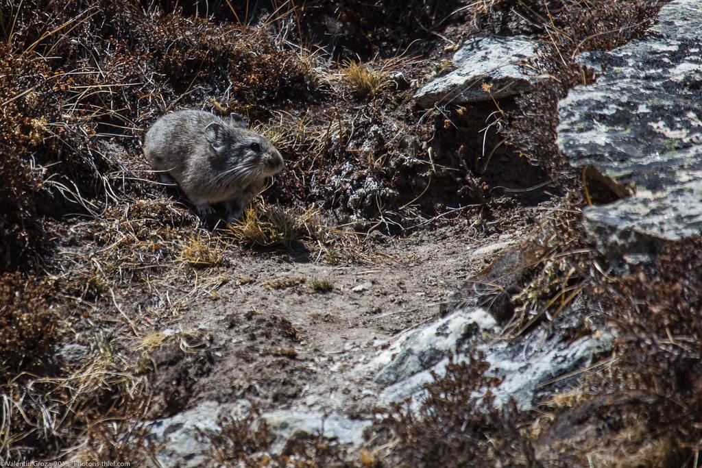 Himalaya_fauna 10 Pika med