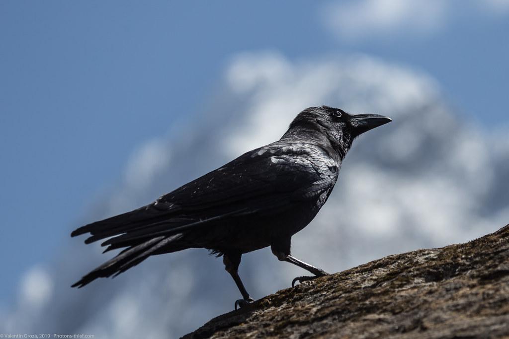 Himalaya_fauna 24_raven 2 med