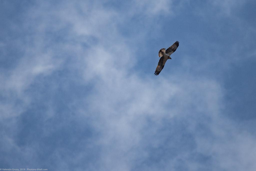 Himalaya_fauna 21 Osprey 03 med