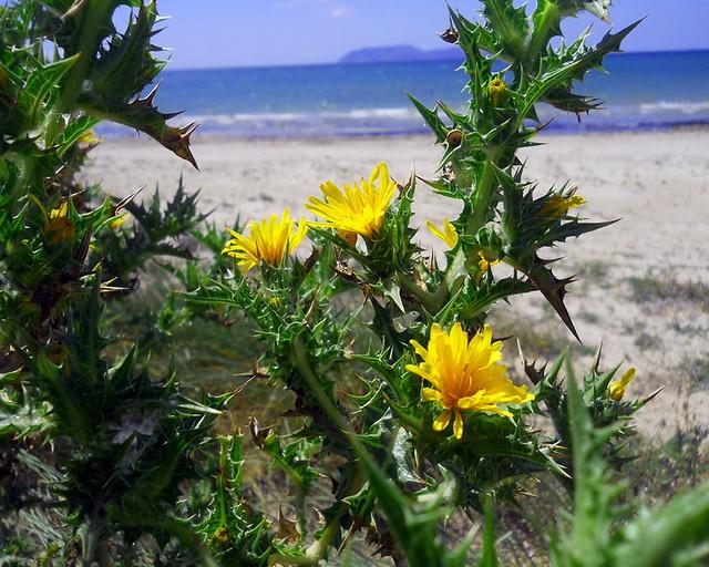5_Scolymus hispanicus
