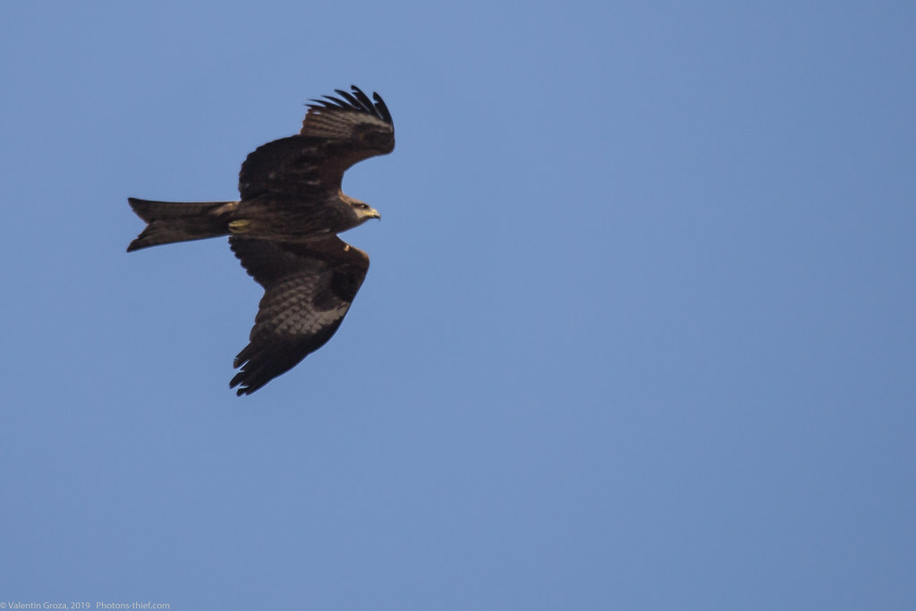 Himalaya_fauna 25 black kite 01 med