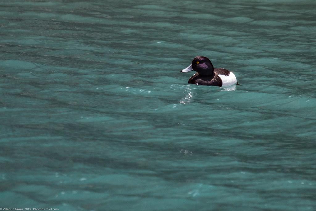 Himalaya_fauna 18 tufted duck Aythya fuligula 02 med