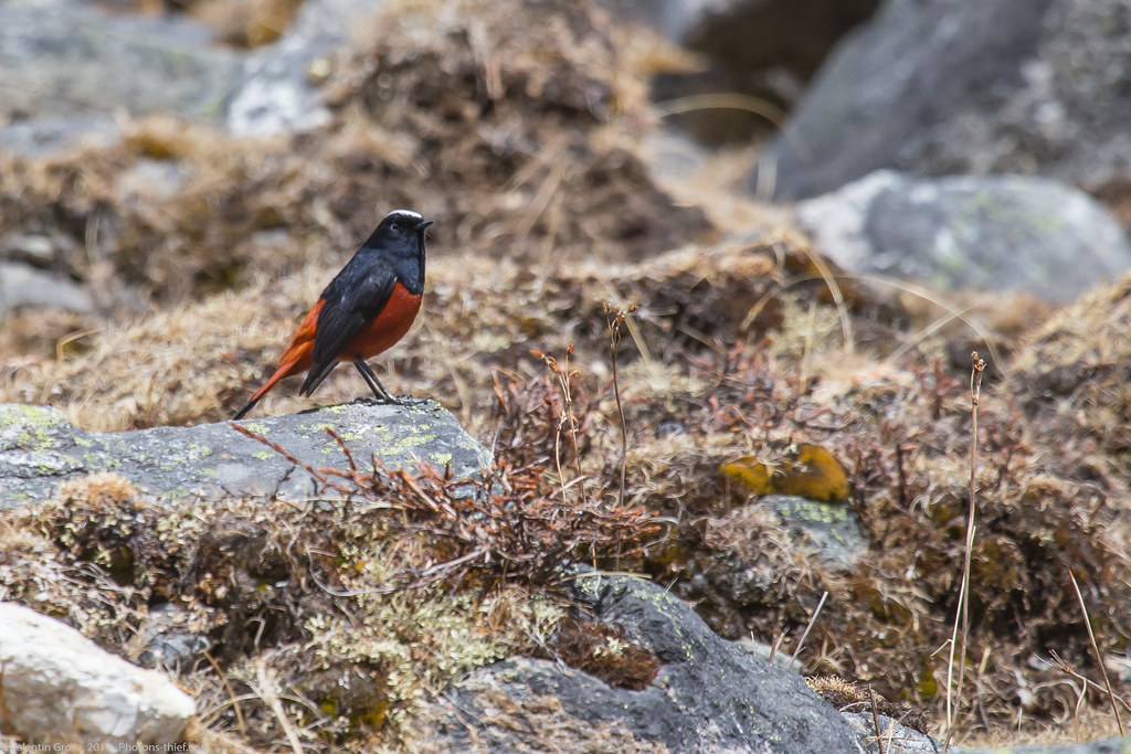 Himalaya_fauna 15 white-capped redstart 02 med