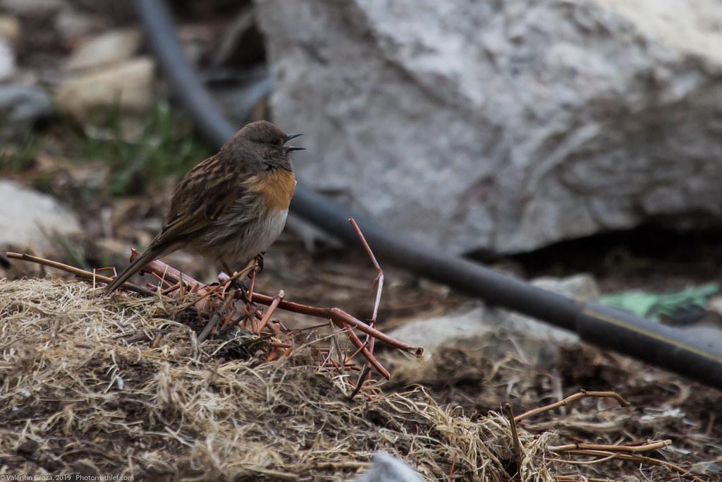 Himalaya_fauna 11 Robin accentor med
