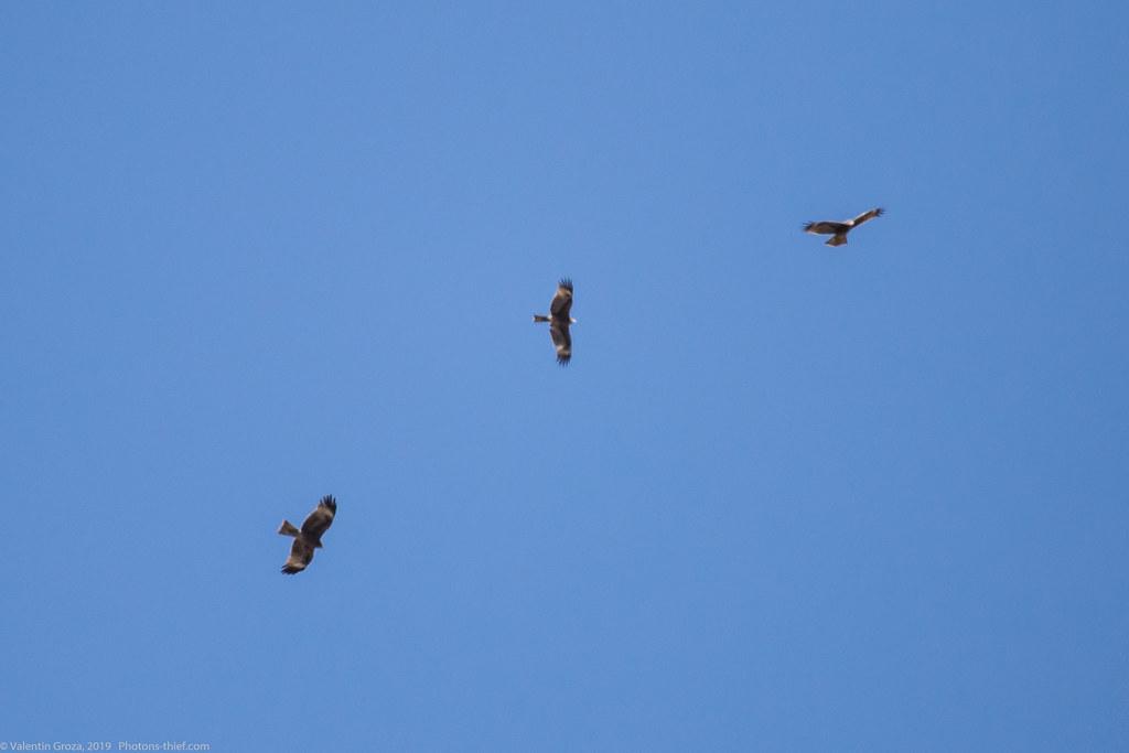 Himalaya_fauna 25 black kite 02 med