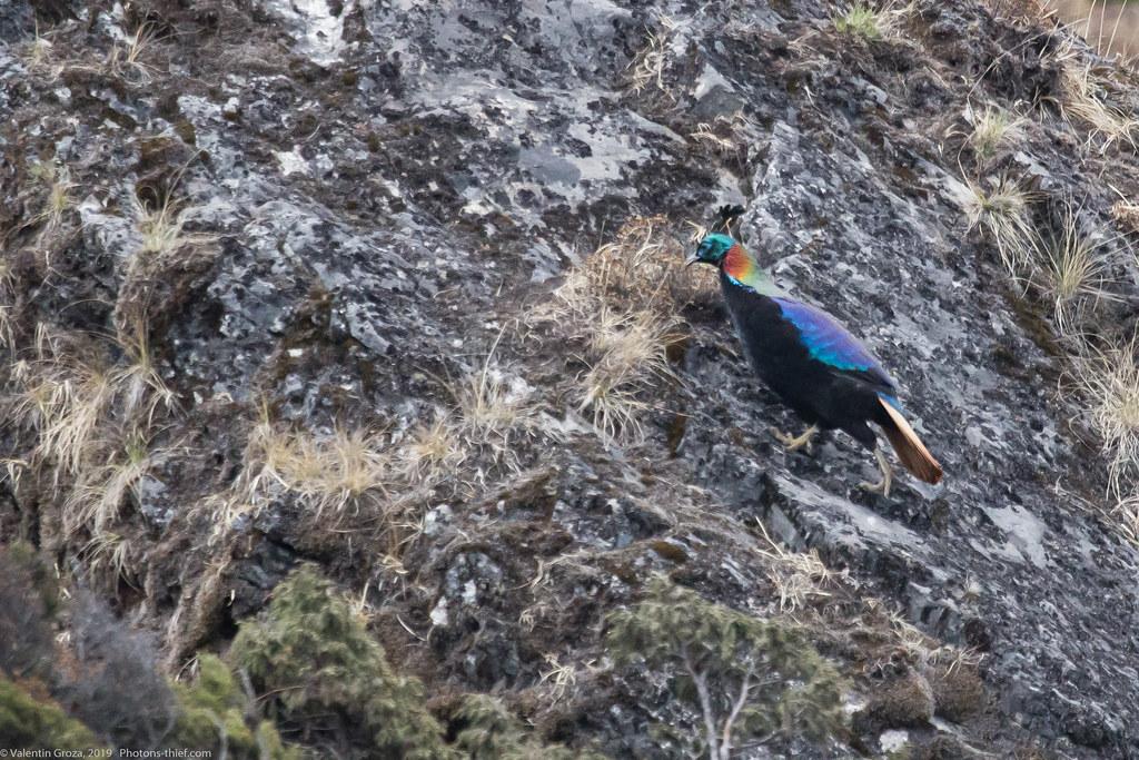 Himalaya_fauna 20_Monal 03 med
