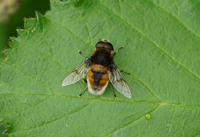 Hoverfly --- Eristalis intricarius --- male