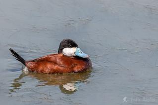 Erismature rousse / Ruddy Duck