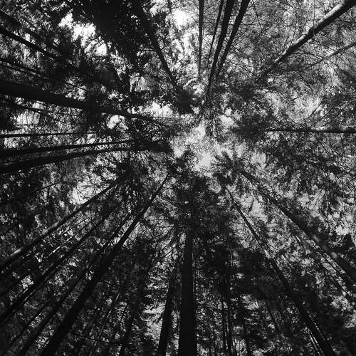 forest trees sky bw square fisheye abstraction abstract perspective лес деревья дерево небо чб квадрат абстракция абстрактный фишай перспектива