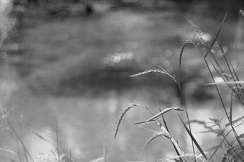 река трава травы колос чб беларусь ислочь приближение river grass grasses spike bw belarus islotch bank берег closeup вода water belarusian nature
