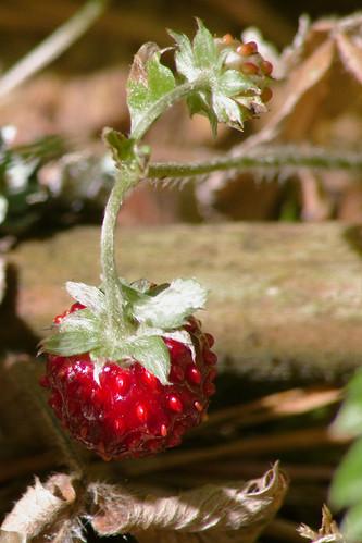forest strawberry berry red closeup macro sun лес земляника ягода красный приближение макро солнце light свет