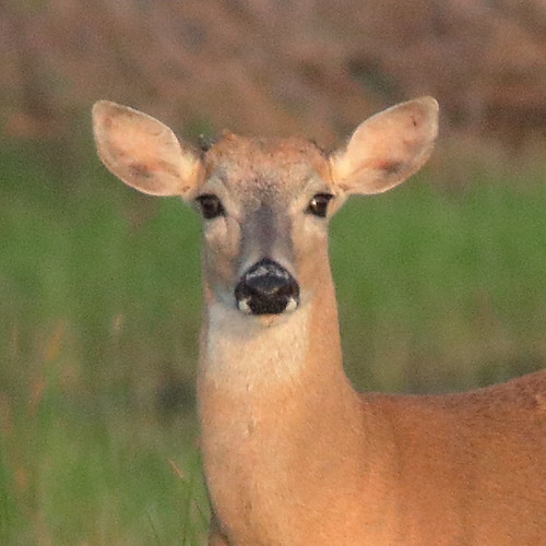 White-tailed Doe with small antler 20190626