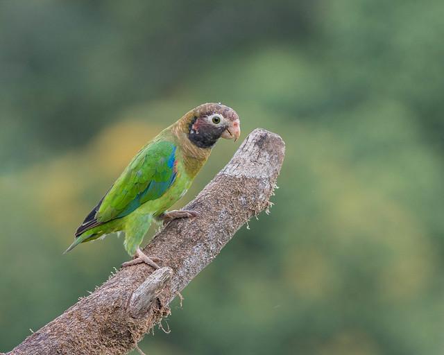Brown-headed Parrot