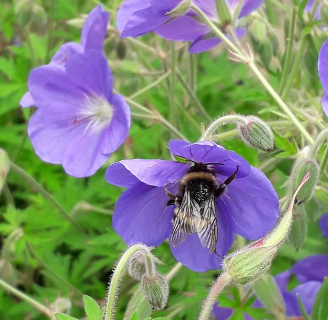 Bumble Bee on Geranium