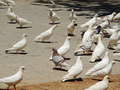White pigeons, Jardines de la Agricultura, Cordoba, Spain