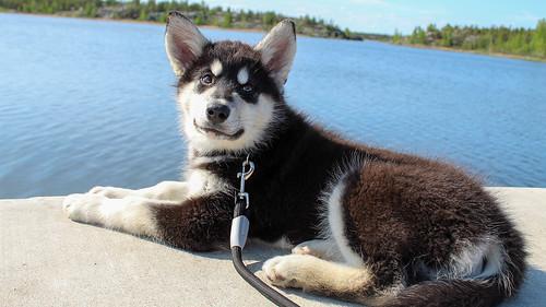 smiling dog alaskan malamute