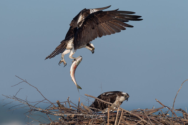 Osprey of the Jersey Shore | 2019 - 20