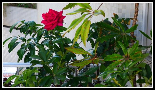 Uma rosa na minha varanda