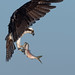 Osprey of the Jersey Shore | 2019 - 19