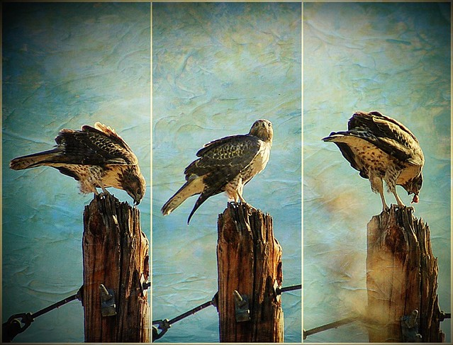 Red-tailed Hawk triptych