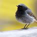 Black Redstart - Photo (c) Radovan Václav, some rights reserved (CC BY-NC)
