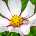 Hover fly on Cosmos flower.jpg