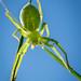 Micrommata virescens - Ceranesi (GE), Italia (OM-D E-M1m2 & 60/2.8)