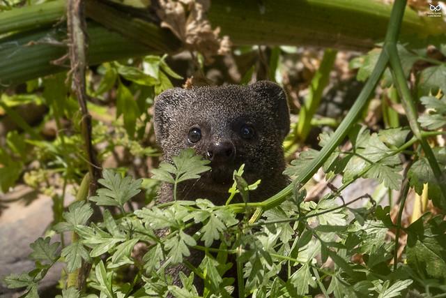 Sacarrabos, Egyptian mongoose(Herpeste ichneumon)