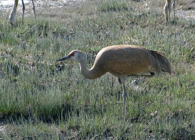 Lesser Sandhill Crane