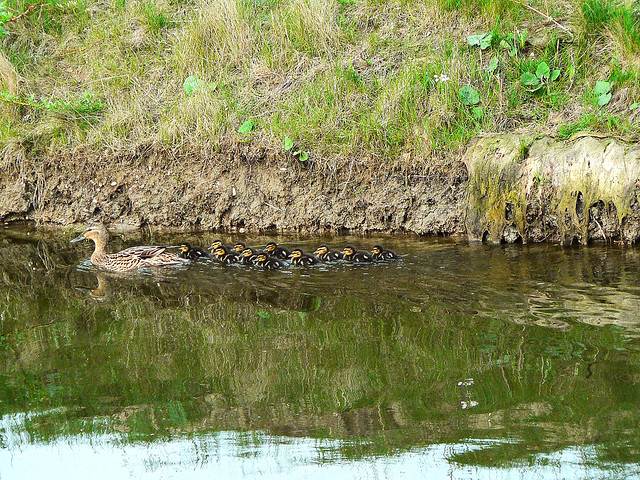The Duck Family ... (1070615)