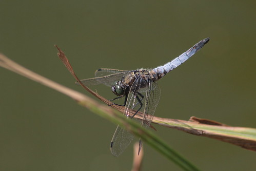 Black-tailed Skimmer, male.
