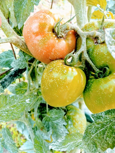 First slicer tomatoes ripening - Beefy Boy.  6-26 | by pepperhead212
